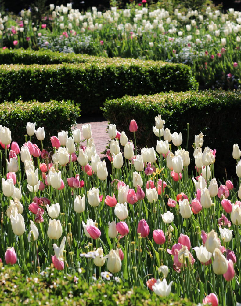 tulip-atlanta-botanical-garden